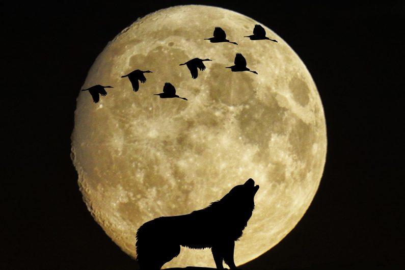 Le loup devant la lune