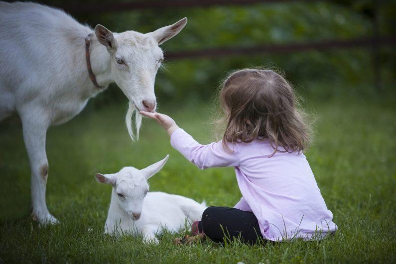 Enfant avec chèvres